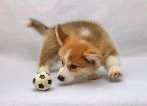 Welpe spielt mit Ball